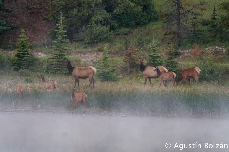 Ciervos en la madrugada